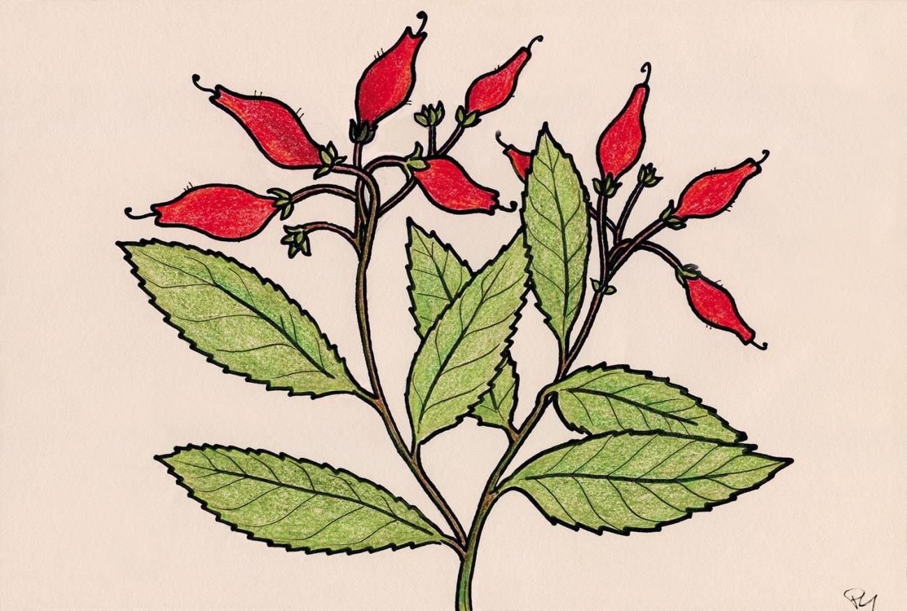 Rhytidophyllum rupincola (Boca de Leon), vallée de Viñales, Cuba