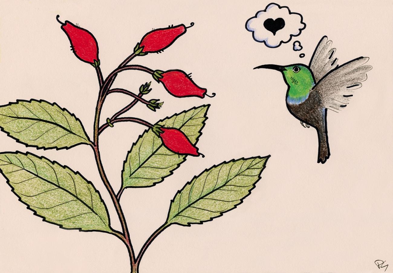 Son principal pollinisateur : le colibri.