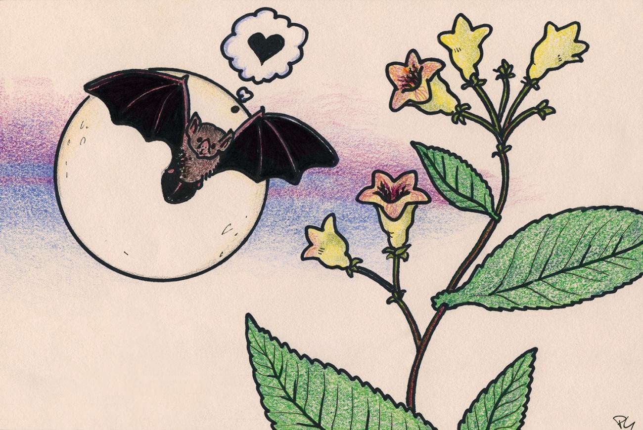 Son principal pollinisateur : la chauve-souris.