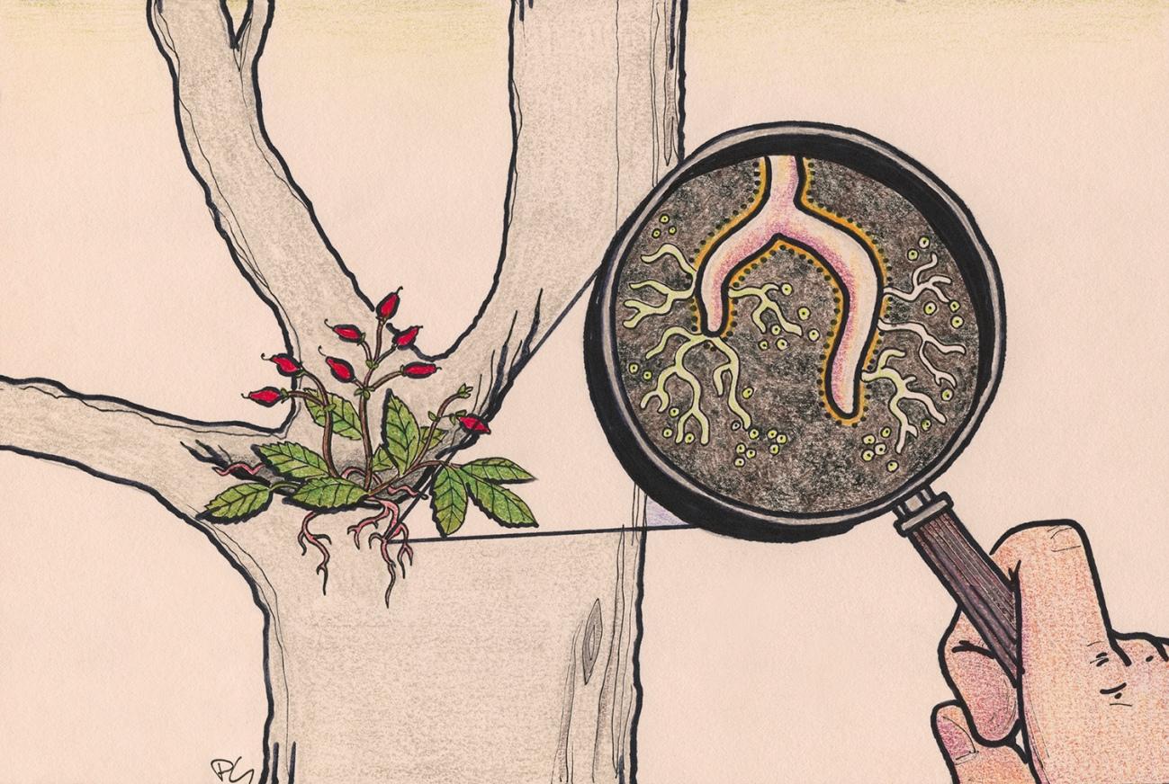 Plusieurs plantes épiphytes vivent en symbiose avec des champignons mycorhiziens et des bactéries.